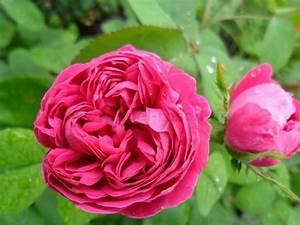 Rosen Kaufen Günstig : rose de resht damaszenerrose kaufen bei agel rosen ~ Markanthonyermac.com Haus und Dekorationen
