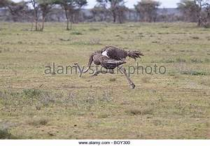 Somali Ostrich Stock Photos & Somali Ostrich Stock Images ...