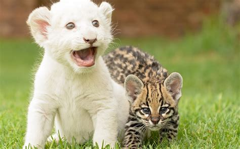 Baby Animals Wallpaper Hd - baby animals grass ocelots wallpapers hd desktop