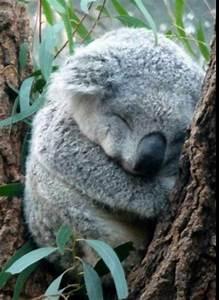 Aww cute sleeping koala bear :-) | Animals I Love | Pinterest
