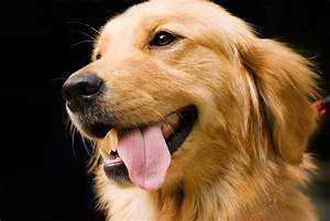 Golden Red River : research team seeks golden retriever owners for study the brock news ~ Orissabook.com Haus und Dekorationen
