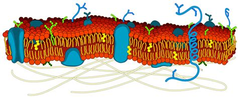 filecell membrane detailed diagram blanksvg wikimedia