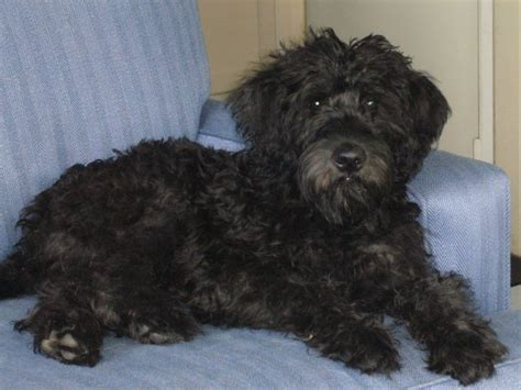 wheaten terrier mix shedding whoodle rescue breeds picture