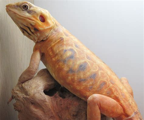 what kind of heat l for bearded dragon silkback bearded dragon bearded dragons pinterest