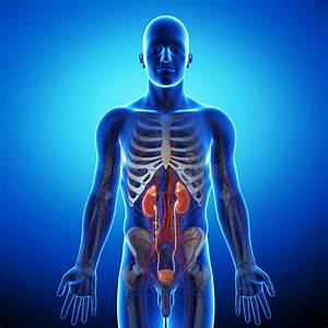 Kidney With Human Urinary System Stock Illustration