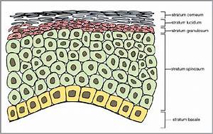 The Layers Of The Human Adult Epidermis  A Stratified