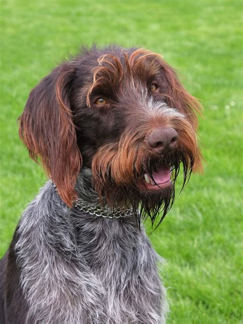wirehaired pointing griffon shedding wirehaired pointing griffon shed 28 images rock run