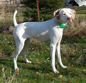 pointer dog breed pictures