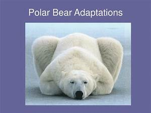 PPT - Polar Bear Adaptations PowerPoint Presentation - ID ...