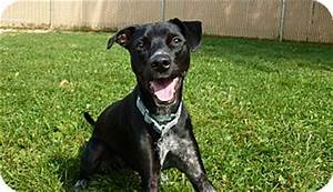 Speck | Adopted Dog | Grayslake, IL | Italian Greyhound ...