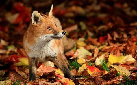 Autumn Animal Wallpaper - animal fall wallpaper 60 images