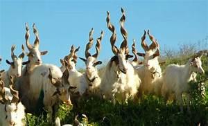 Goats | PetMapz
