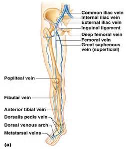 Leg Veins and Arteries