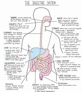 Digestive System Facts | Cool Kid Facts