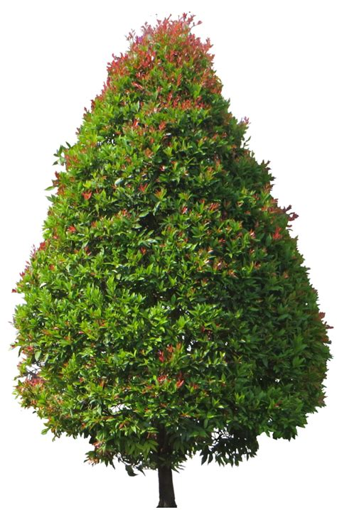 Tropical Plant Pictures: Eugenia myrtifolia (Brush cherry