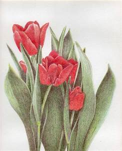 Tulips Drawing by Bonnie Haversat