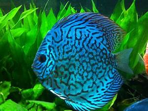 Blue Discus Fish | ... Update pictures for the Atlum Flora ...