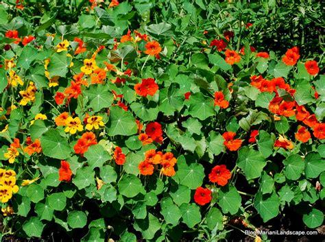 Garden Nasturtium by Moss Nasturtium And More In The Garden With