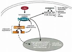 Proposed model describing a positive feedback loop ...