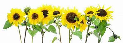 Isolated Sonnenblumen Border Sunflowers Grenze Colourbox