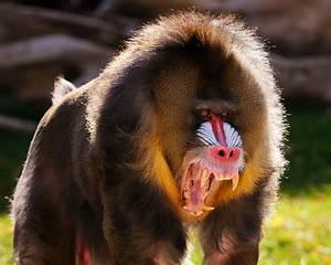 mandrill teeth - Αναζήτηση Google   Miscellaneous ...
