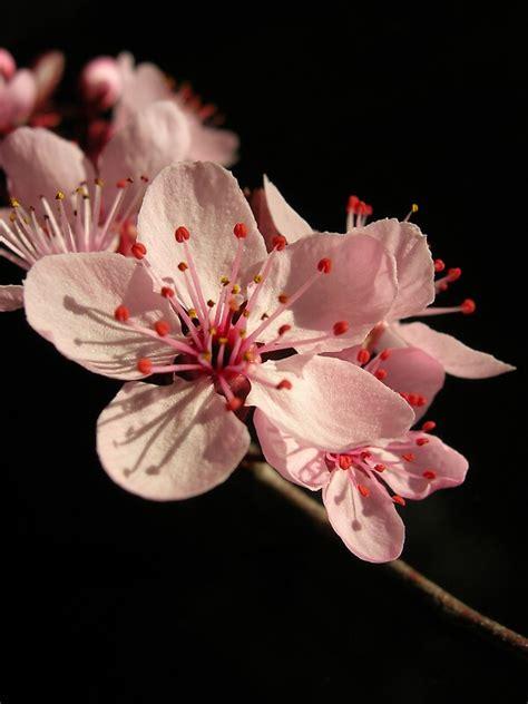 cherry blossom  rosephotography redbubble