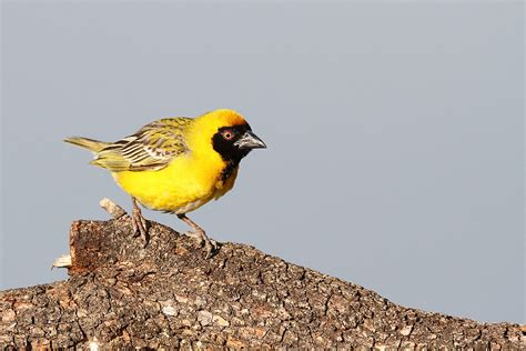 south weaver bird southern masked weaver bird wildlife photography by richard and eileen flack