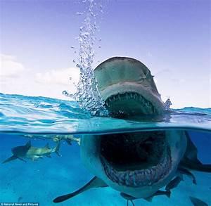 Bull Sharks: Bull or Shark? – Barela, Kaitlin R
