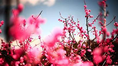 Peach Flower Flowers Wallpapers Blossom Resolution Desktop