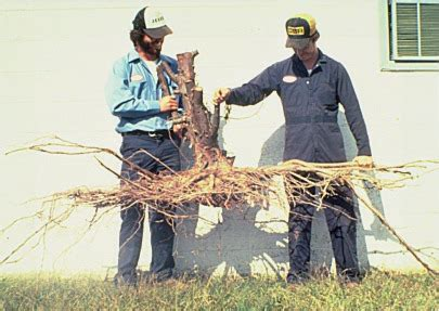 cedar tree root system root depth root growth after planting roots landscape plants edward f gilman uf ifas