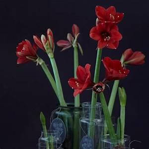 Amaryllis Im Glas : weihnachtsdeko mit amaryllis bild 11 living at home ~ Eleganceandgraceweddings.com Haus und Dekorationen
