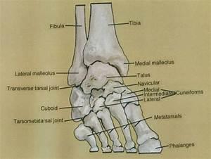fibula; lateral malleolus; transverse tarsal joint; cub ...