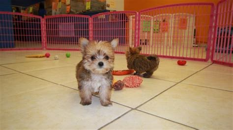 Do Morkie Poos Shed by Adorable Non Shedding Tcup Morkie Puppies For Sale