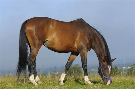 hanoverian horse breeds breed horses horsemart guide farm war guides