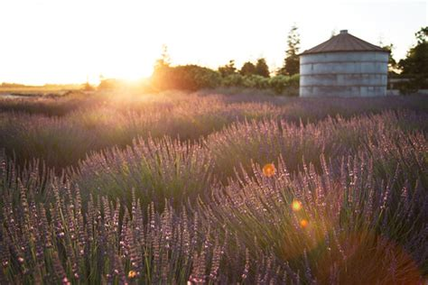 pageo lavender farm turlock ca wedding venue