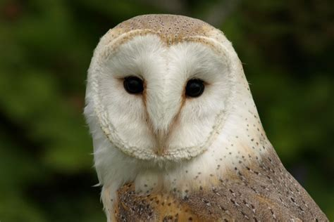 Barn Owl Survey  Field & Nest Site Verification