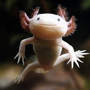 Mexican biologists wonder: Where have all the axolotls ...