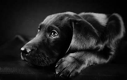 Lab Labrador Background Puppy Widescreen Mut Curr