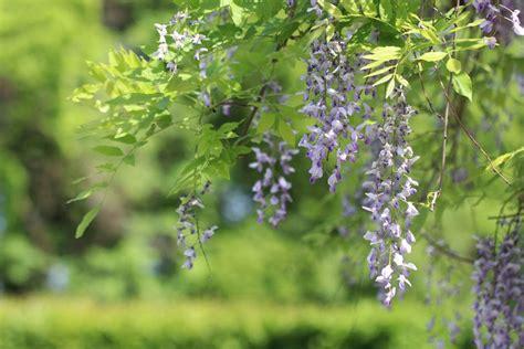hortensien erfroren was tun blauregen glyzinie ist erfroren was tun bei frostsch 228 den an bl 252 ten