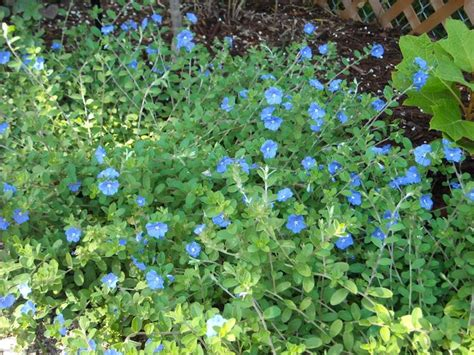 blue ground cover flowers blue daze ground cover plants butterflies and caterpillars in our garden pinterest