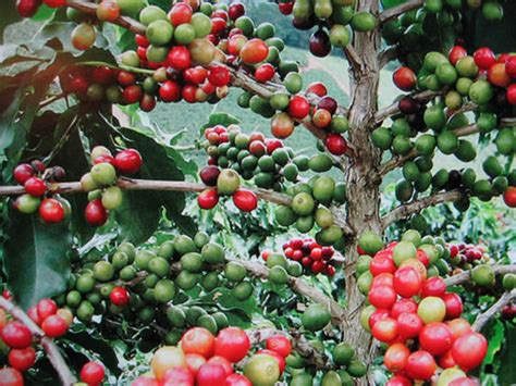 Plants & Flowers » Coffee Plant Bulletproof Coffee Chicago Nutrition Facts Twice A Day Death Wish Mg Caffeine Gift Baskets Costa Zarobki Youtube Video Upper East Side
