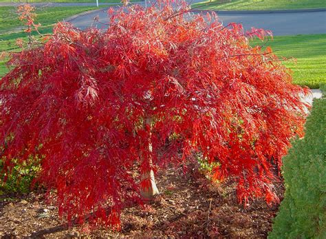 japanese maple crimson queen japanese maple car interior design