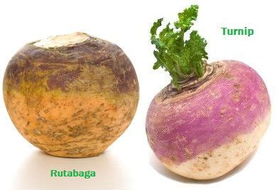 rutabaga vs turnip rutabaga vs turnip 28 images turnip rutabaga produce confusion yam or sweet potato