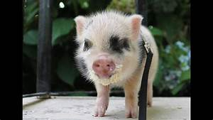 Baby Pig Plays Outside
