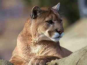 Dealing with the Wild in Wilderness – Mountain Lion, Bear ...