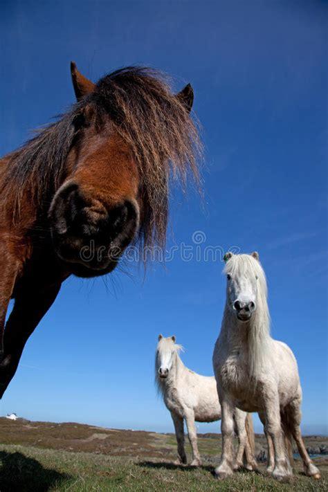 wild ponies welsh preview