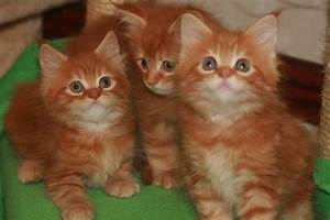 Lovely Red Tabby Maine Coon Kittens for sale | Glasgow ...