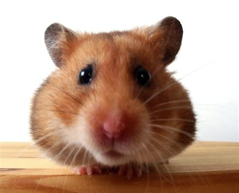 types of hamsters hamster facts diet habits types of hamsters