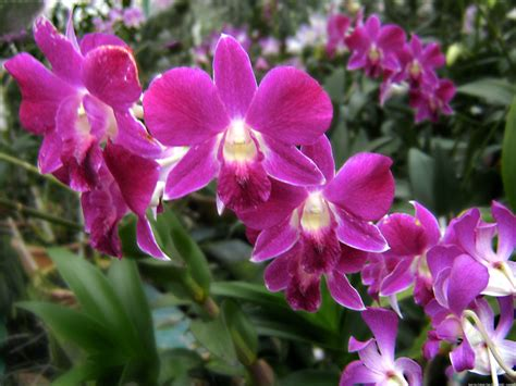 orchids flowers pictures file orchid flowers jpg wikipedia