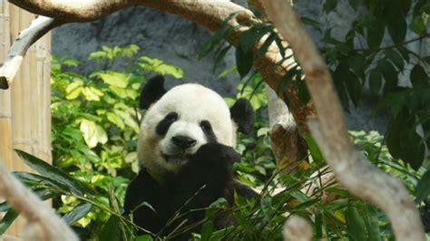 pandabaeren im berliner zoo kindersache